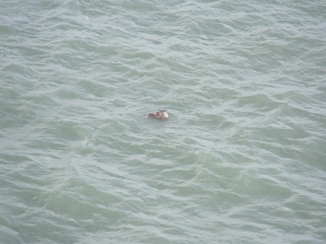 Grey seal feasting on mullet from the Tower 'vulnerable'?